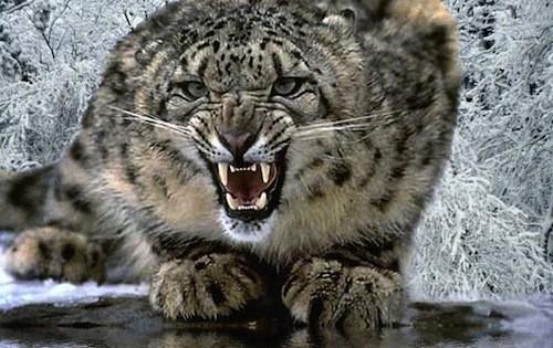 snowleopard_06.jpg