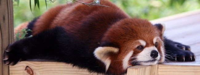 Firefox-Panda rosso