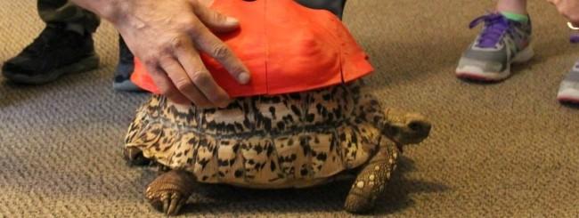 La tartaruga Cleopatra