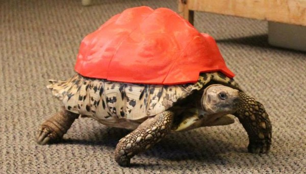 Cleopatra, la tartaruga con il guscio ricostruito utilizzando una stampante 3D