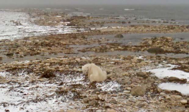 Un orso polare a Hudson Bay