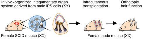 Uno schema spiega il processo impiegato per la generazione della pelle artificiale
